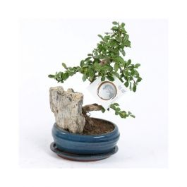 30cm Bonsai Carmona | Ficus Retusa | 13cm Pot | By Plant Theory