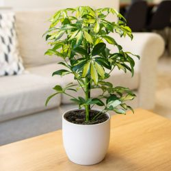 45cm Schefflera 'Gerda' | Umbrella Tree | 13cm Pot | By Plant Theory