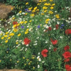 Cornfield Wildflower Mixture Seeds | By Mr Fothergills