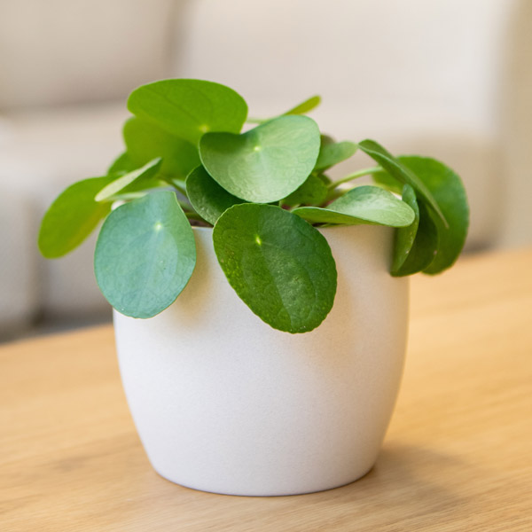 30cm Chinese Money Plant | Pilea Peperomioides | 12cm Pot | By Plant Theory