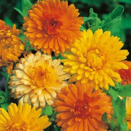 Calendula 'Art Shades' Seeds | By Mr Fothergills