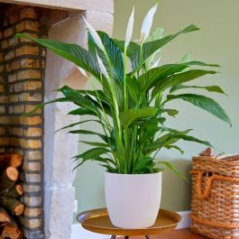 100cm Peace Lily | Spathiphyllum | 24cm Pot | By Plant Theory