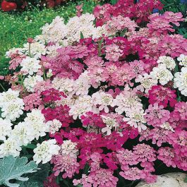 Candytuft 'Fairy' Mixed Seeds | Iberis Umbellata | By Mr Fothergills