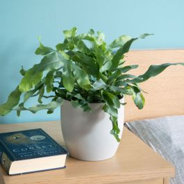 40cm Blue Star Fern | Phlebodium Aureum | 14cm Pot | By Plant Theory