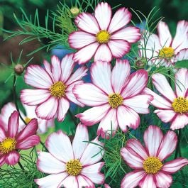 Cosmos 'Candy Stripe' Seeds | Cosmos Bipinnatus | By Mr Fothergills