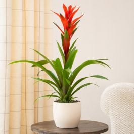 60cm Guzmania 'Fiero Orange' | 12cm Pot | By Plant Theory