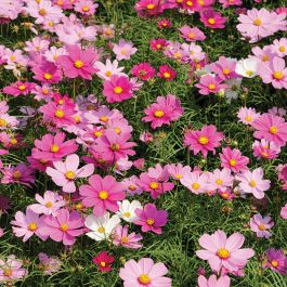 Cosmos 'Dwarf Sensation' Mixed Seeds | Cosmos Bipinnatus | By Mr Fothergills