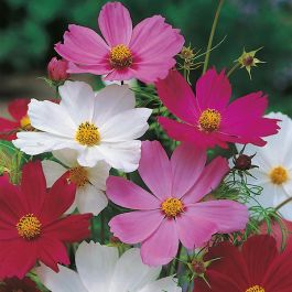 Cosmos 'Sensation' Mixed Seeds | Cosmos Bipinnatus | By Mr Fothergills