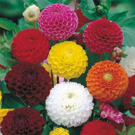 Dahlia 'Pompon' Mixed Seeds | Dahlia X Hortensis | By Mr Fothergills