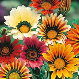 Gazania 'Sunshine' Mixed Seeds | By Mr Fothergills