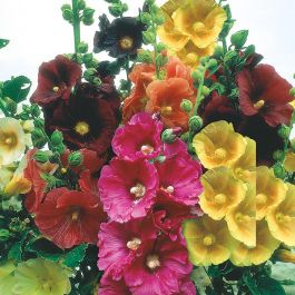 Hollyhock Giant Single Mixed Seeds | By Mr Fothergills
