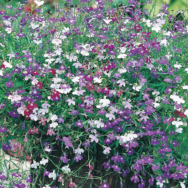Lobelia 'Cascade' Mixed Seeds | Lobelia Erinus | By Mr Fothergills