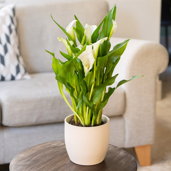 45cm Zantedeschia 'Crystal Blush' | Calla Lily | 12cm Pot | By Plant Theory
