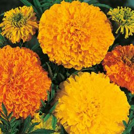 Marigold African 'Crackerjack' Mixed Seeds | Tagetes Patula | By Mr Fothergills