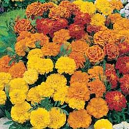 Marigold French 'Dwarf Double' Mixed Seeds | Tagetes Patula | By Mr Fothergills