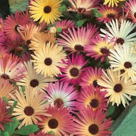 Mesembryanthemum 'Livingstone Daisy' Mixed Seeds | By Mr Fothergills