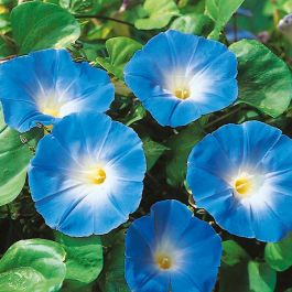 Morning Glory 'Heavenly Blue' Seeds | Ipomoea Tricolor | By Mr Fothergills