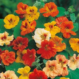 Nasturtium 'Jewel' Mixed Seeds | Tropaeolum Majus | By Mr Fothergills