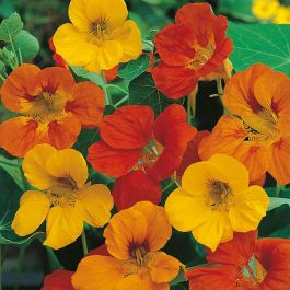 Nasturtium 'Tom Thumb' Seeds | Tropaeolum Majus | By Mr Fothergills