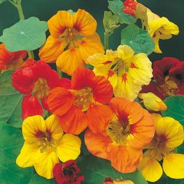 Nasturtium Trailing Mixed Seeds | Tropaeolum Majus | By Mr Fothergills