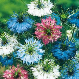 Nigella 'Persian Jewels' Mixed Seeds | Love In A Mist | By Mr Fothergills
