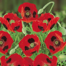 Poppy 'Ladybird' Seeds | By Mr Fothergills