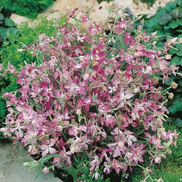 Night Scented Stock Seeds | Matthiola Longipetala | By Mr Fothergills