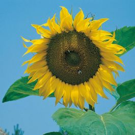 Sunflower 'Bags Of Sunshine' Seeds | Helianthus Annuus | By Mr Fothergills