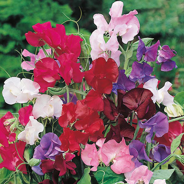 Sweet Pea 'Bouquet' Seeds | Lathyrus Odoratus | By Mr Fothergills