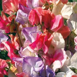 Sweet Pea 'Incense' Mixed Seeds | Lathyrus Odoratus | By Mr Fothergills