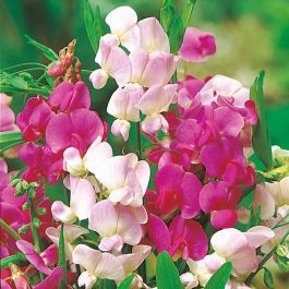 Sweet Pea Perennial 'Everlasting' Mixed Seeds | Lathyrus Odoratus | By Mr Fothergills