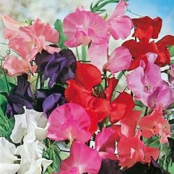 Sweet Pea 'Tall' Mixed Seeds | Lathyrus Odoratus | By Mr Fothergills
