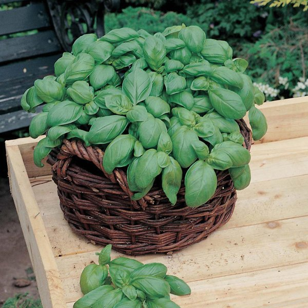 Basil 'Sweet' Seeds | Ocimum Basilicum | By Mr Fothergills