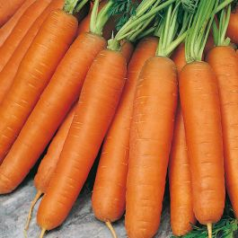Carrot 'Nantes' | 1000 Seeds | By Plant Theory