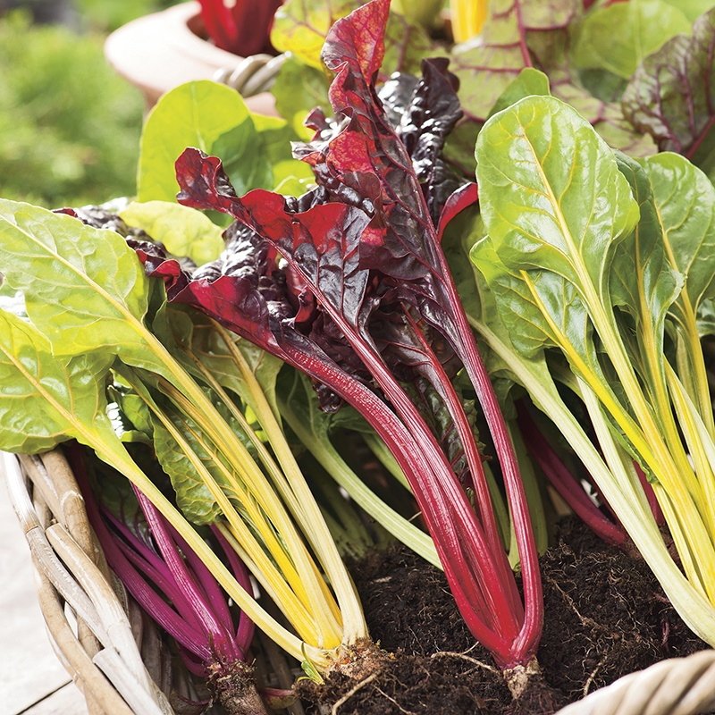 Chard 'Bright Lights' Seeds | Beta Vulgaris | By Mr Fothergills