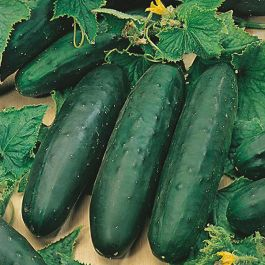 Cucumber 'Marketmore 76' Seeds | Cucumis Sativus | By Mr Fothergills