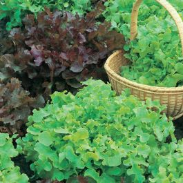 Salad Bowl Red & Green Mixed Lettuce Seeds | Lactuca Sativa | By Mr Fothergills
