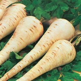 Parsnip 'Gladiator F1' Seeds | Pastinaca Sativa | By Mr Fothergills