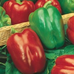 Sweet Pepper 'California Wonder' Seeds | Capsicum Annuum | By Mr Fothergills