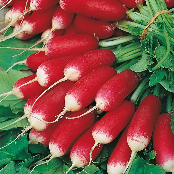 'French Breakfast 3' Radish Seeds | By Plant Theory