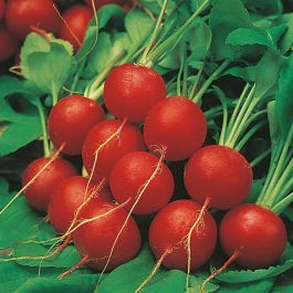 Radish 'Scarlet Globe' Seeds | Raphanus Sativus | By Mr Fothergills
