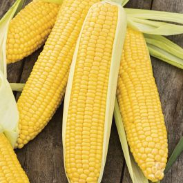 'Incredible' F1 Sweetcorn Seeds | By Plant Theory