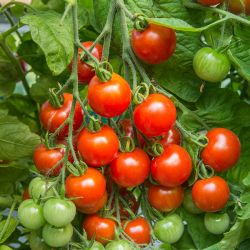 Tomato 'Gardener's Delight' Seeds | Solanum Lycopersicum | By Mr Fothergills