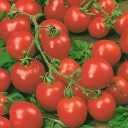 Tomato 'Red Cherry' Seeds | Solanum Lycopersicum | By Mr Fothergills