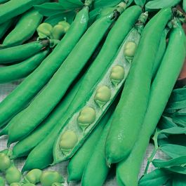 'Masterpiece Green Longpod' Broad Bean  Seeds | By Plant Theory