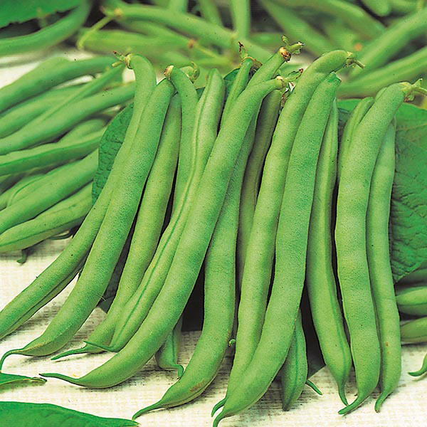 Dwarf French Bean 'Tendergreen' Seeds | Phaseolus Vulgaris | By Mr Fothergills