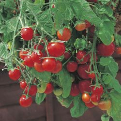 Tomato 'Tumbling Tom' Seeds | Solanum Lycopersicum | By Mr Fothergills