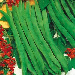 Runner Bean 'Enorma' Seeds | Phaseolus Coccineus | By Mr Fothergills