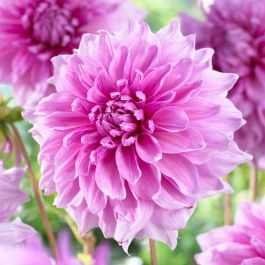 3 x 'Lavender Perfection' Dahlia Tubers