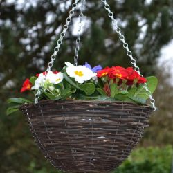 30cm Pre-Planted Hanging Basket | Primula 'Red White and Blue' Mix